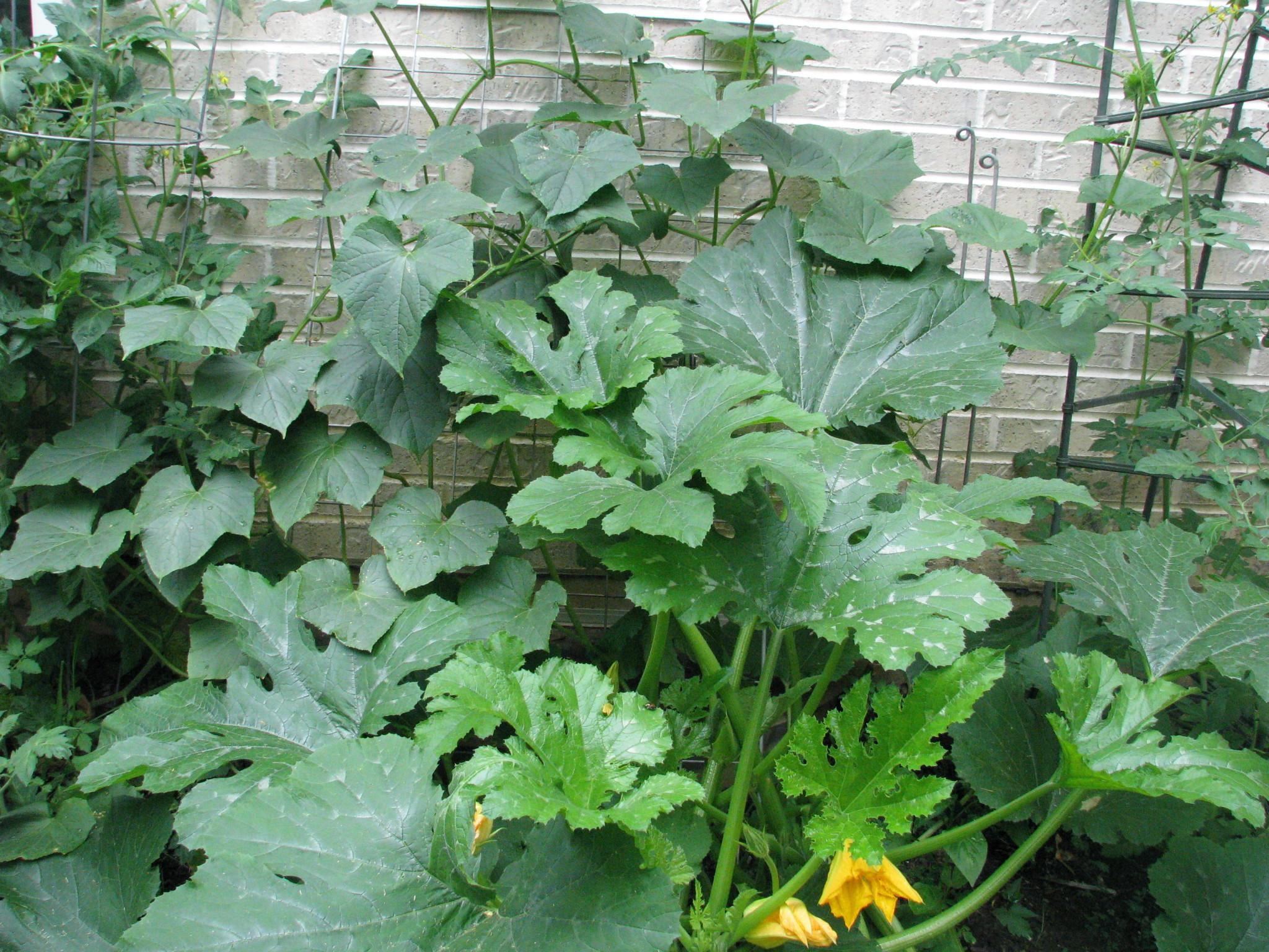 Cucumbers Mid Summer Stephi Gardens