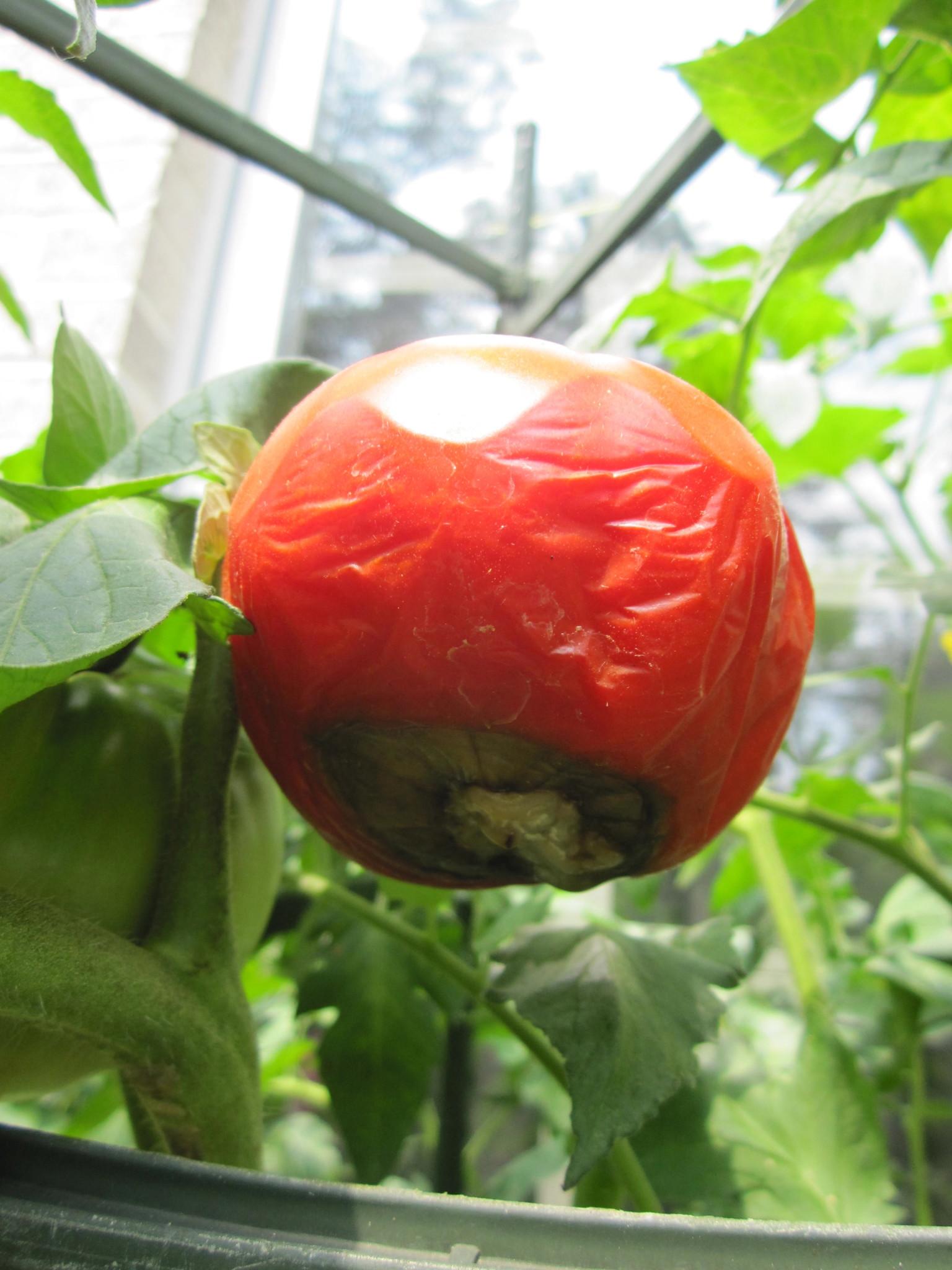 sweet million tomato stephi gardens. Black Bedroom Furniture Sets. Home Design Ideas