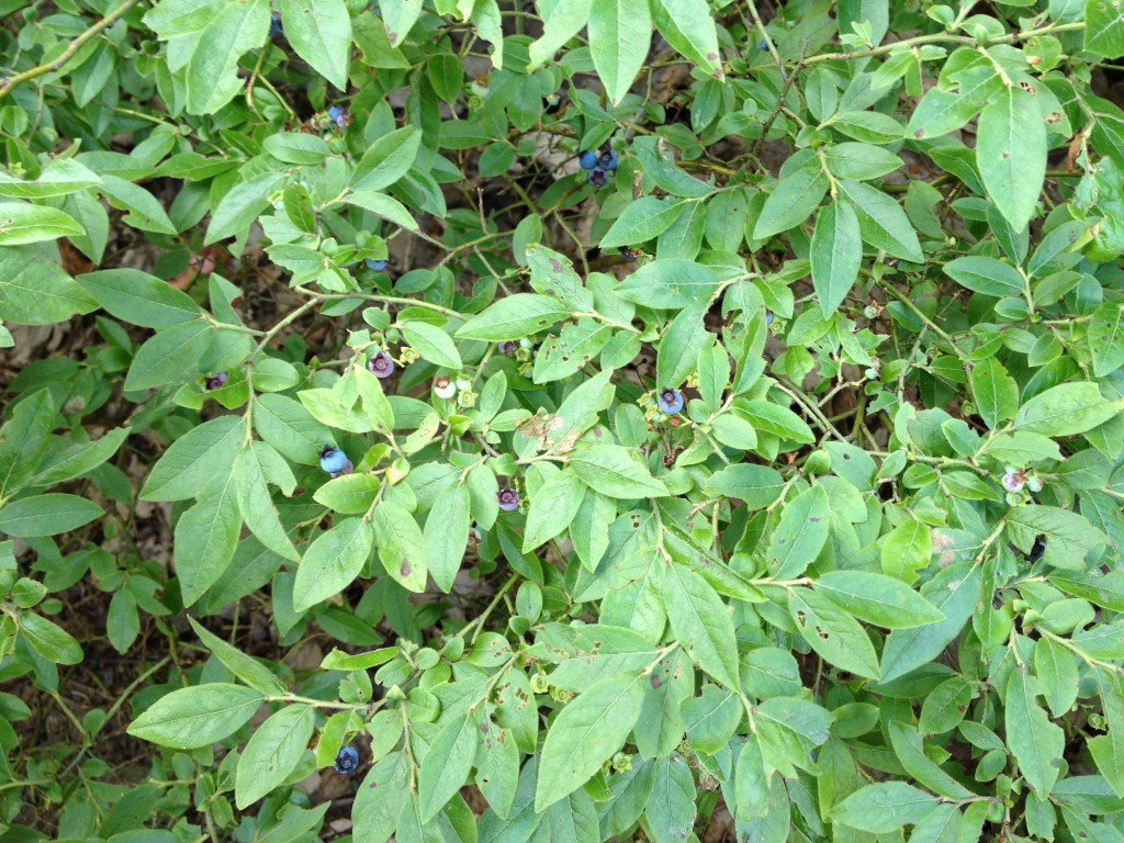 Wild Blueberries collected for blueberry pancakes while camping