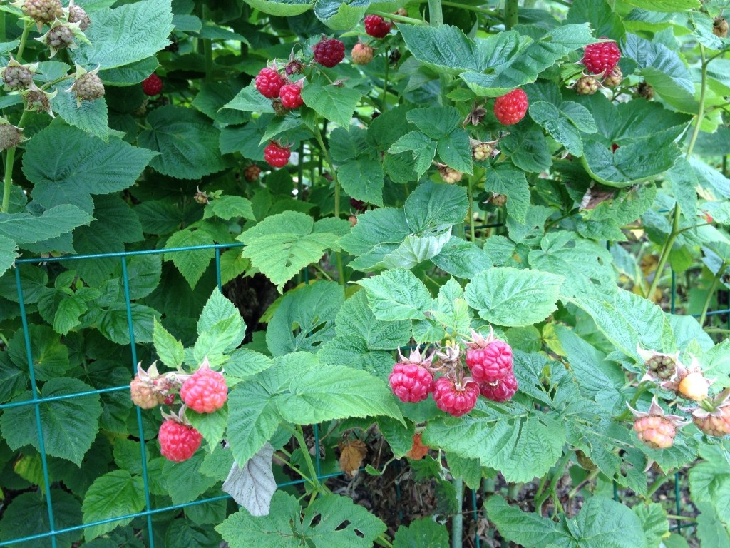 Abundant raspberries grown in gardens and in the wild