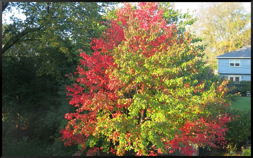 branched maple