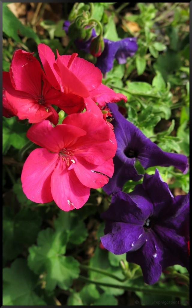 petunia geranium