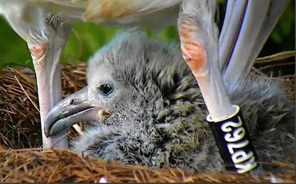 Laysan Albatrosses Nest Cam