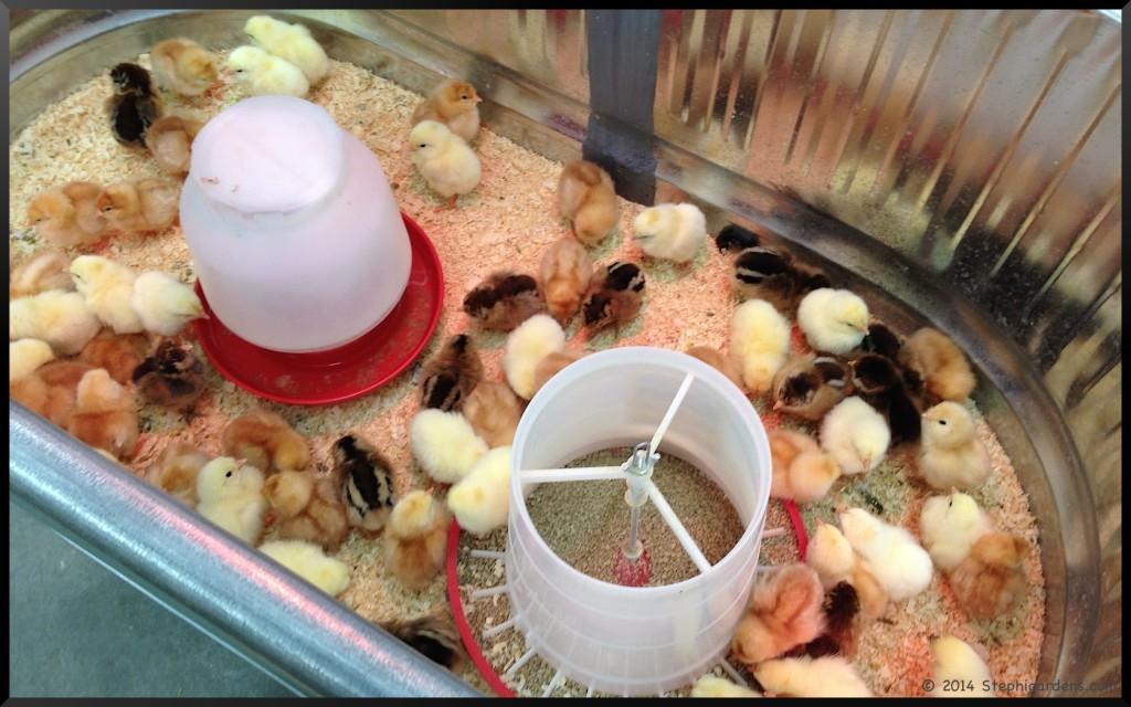 chicks