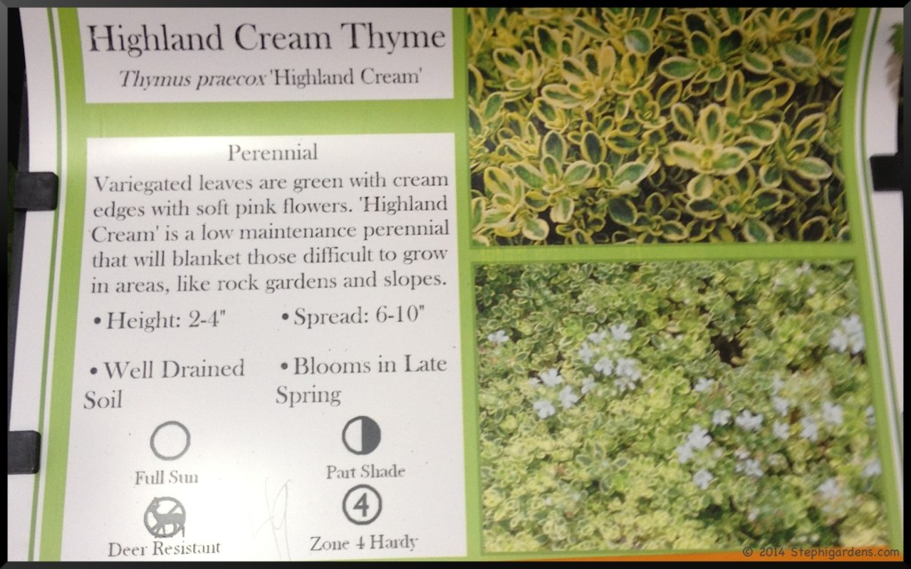 Creeping Thyme