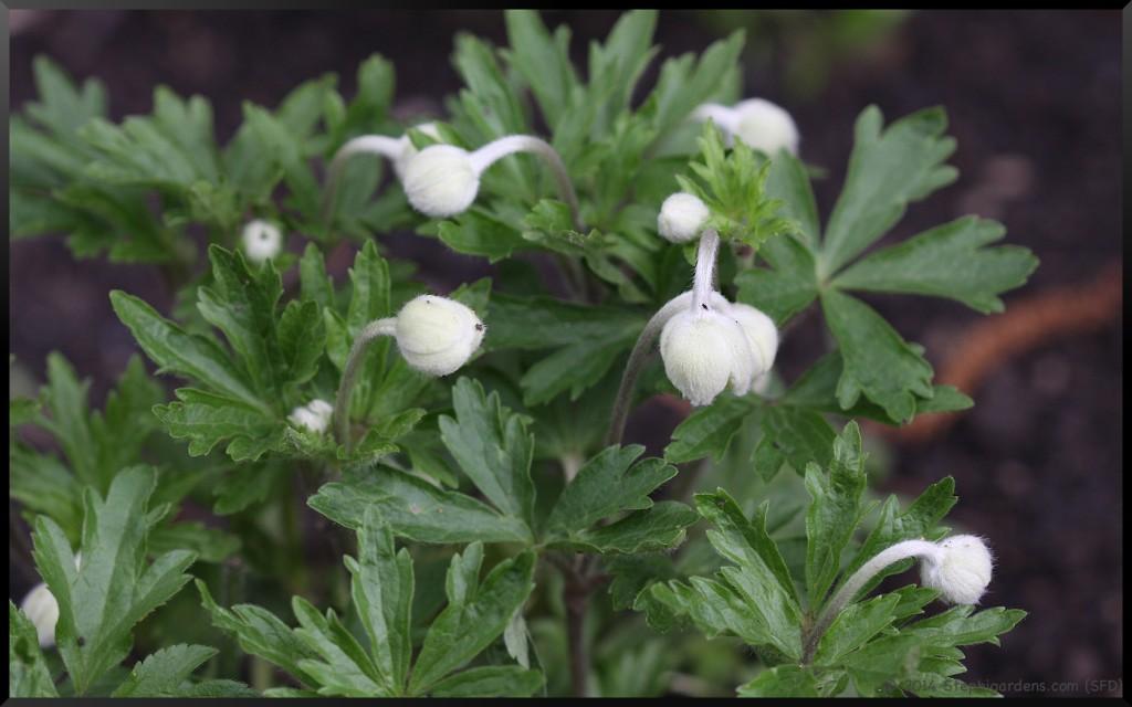 Windflower (Anemone)