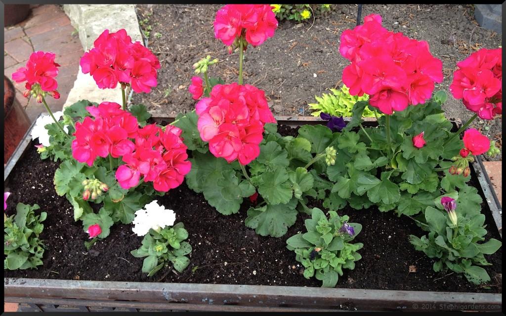 geraniums and petunia planter