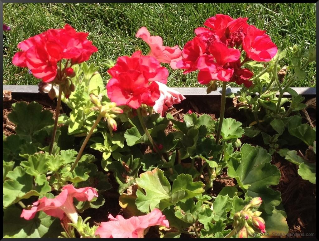 geranium and petunia planter