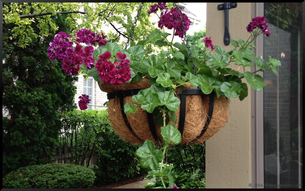 how to cut back old geraniums