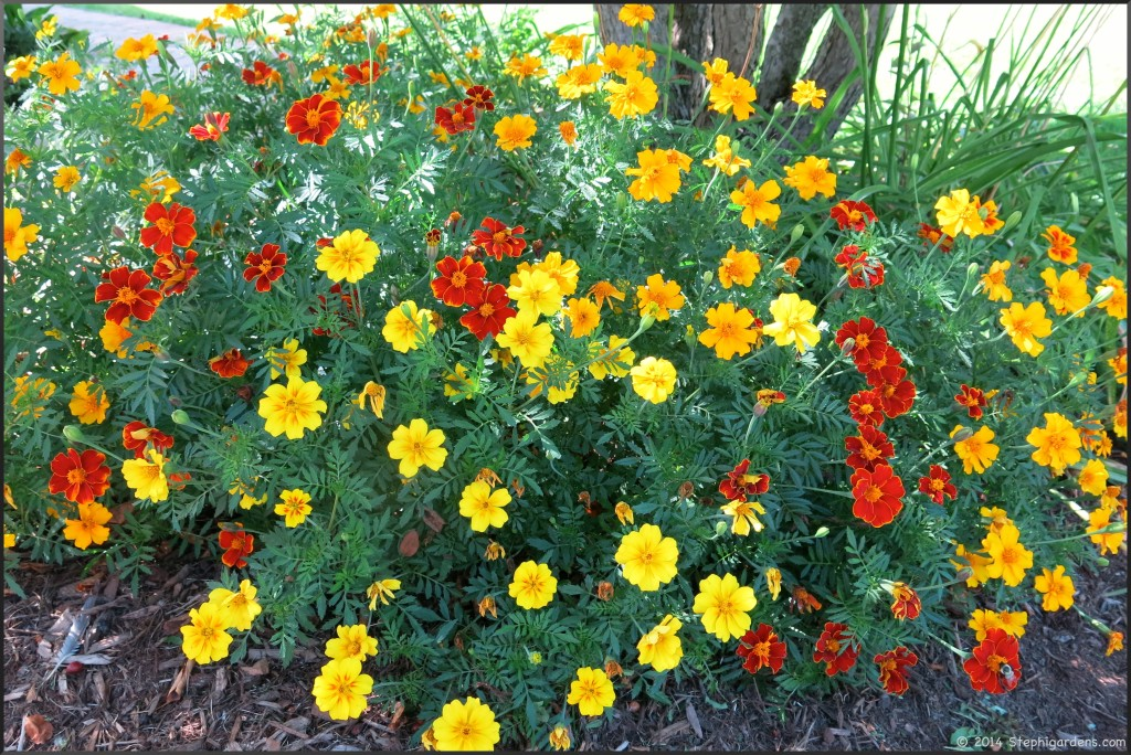 French Favorite Marigold