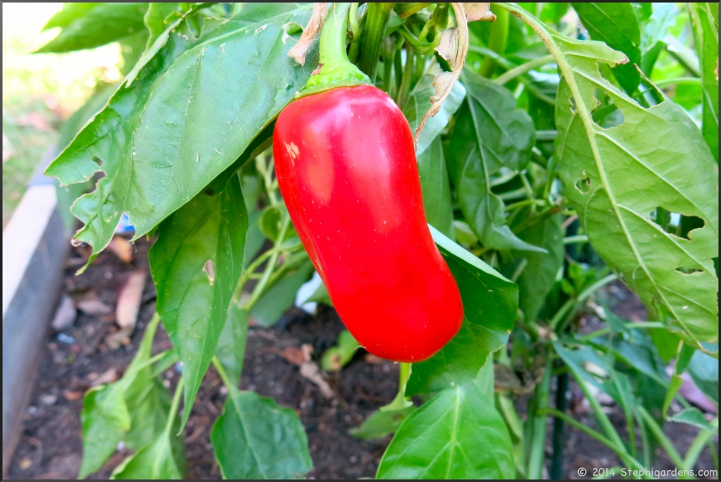 Sweet red pepper