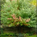 Multi stemmed Freeman Maple Autumn Blaze