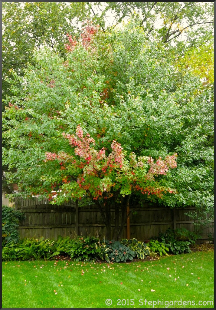 Multi stemmed Freeman Maple Autumn Blaze