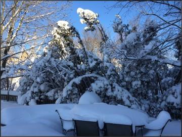winter arborvitae