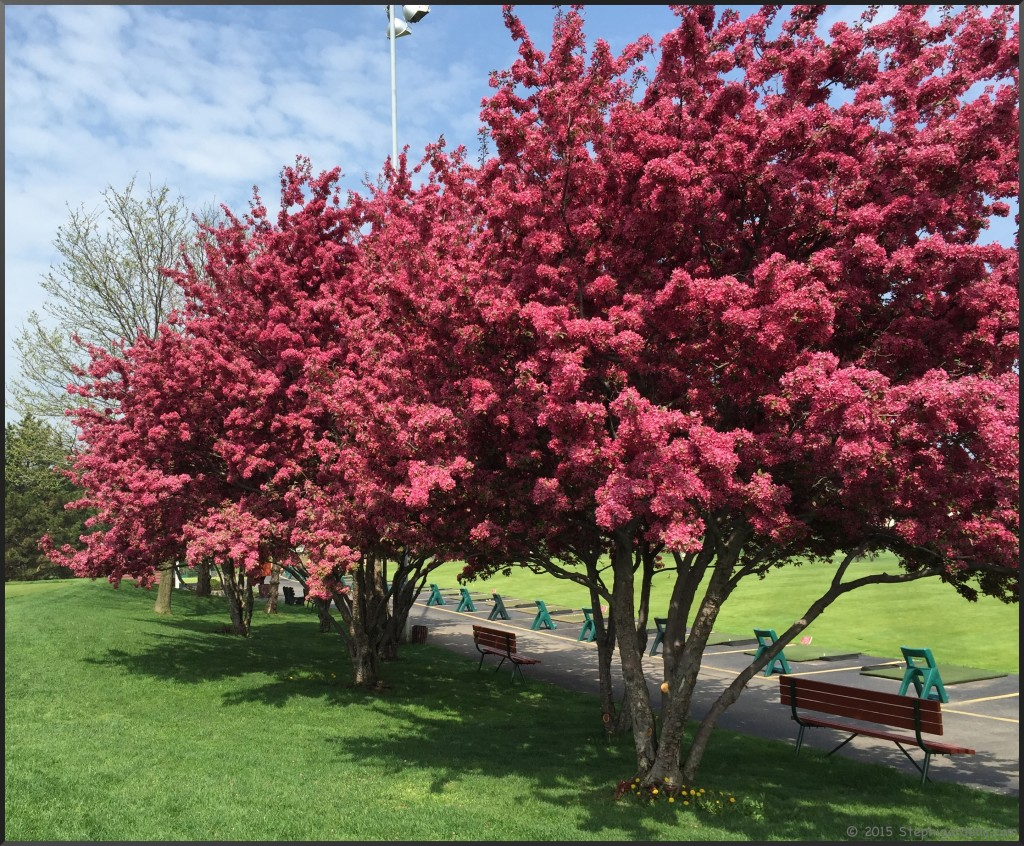An Amazing Spring For The Flowering Trees Stephi Gardens
