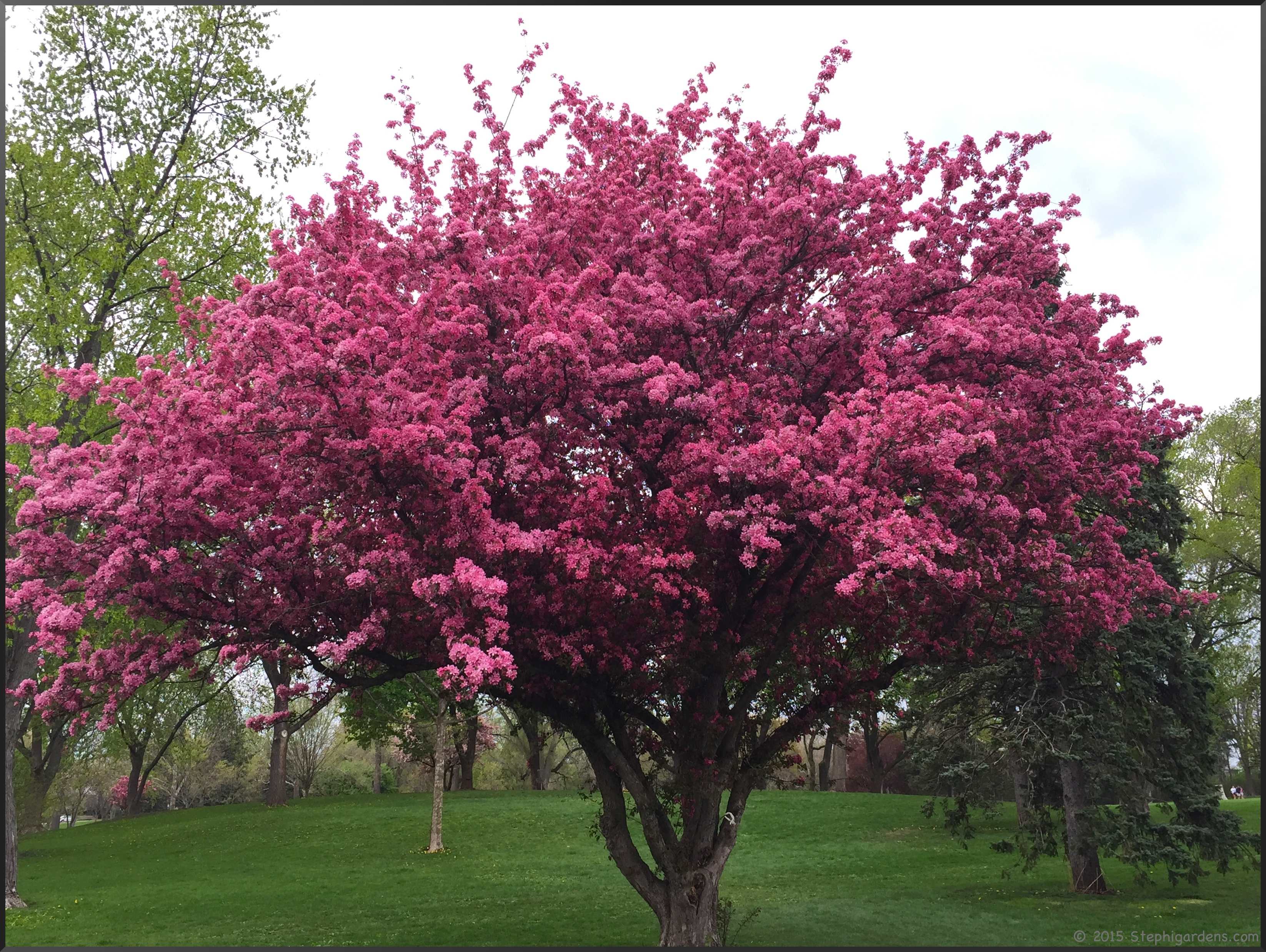 An amazing spring for the flowering trees stephi gardens for Crabapple tree