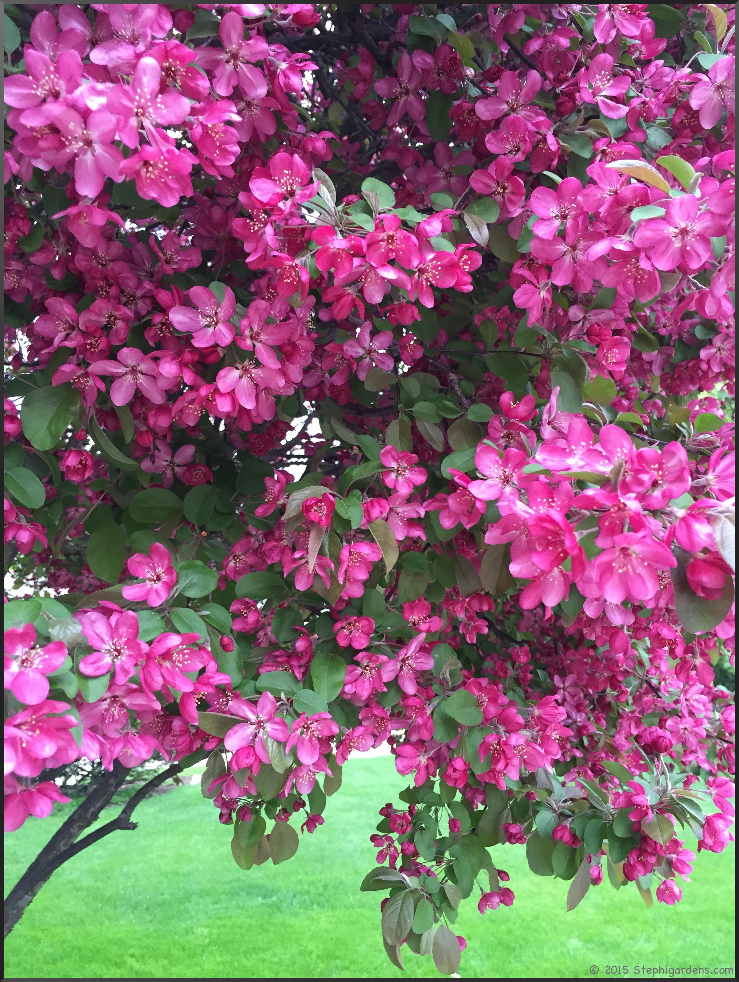 flowering crabtree