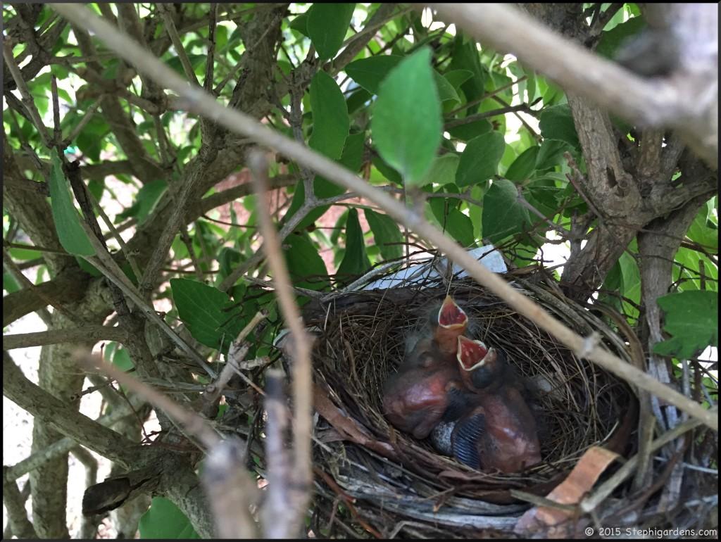 cardinal hatchlings