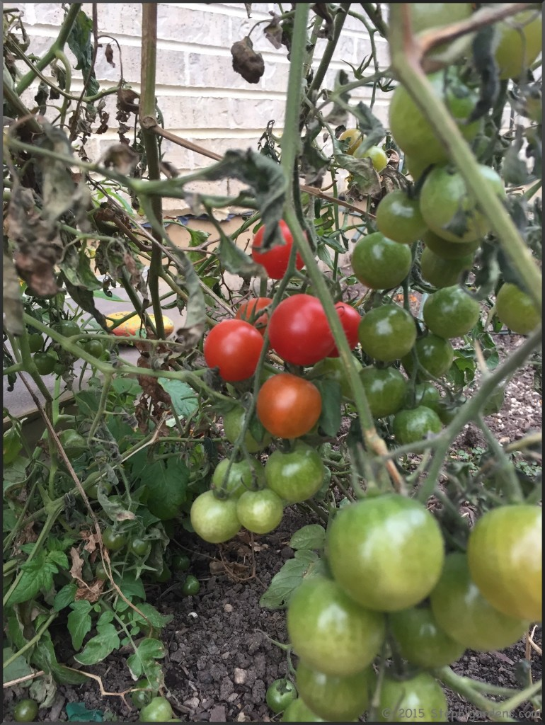 sweet hundreds tomatoes