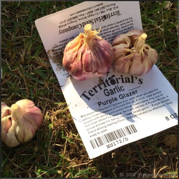 Territorial seed garlic