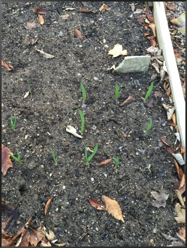 fall sprouting garlic