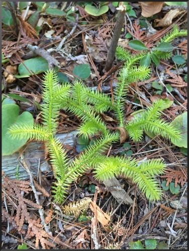 Lycopodium clavatum (Running Ground Pine)