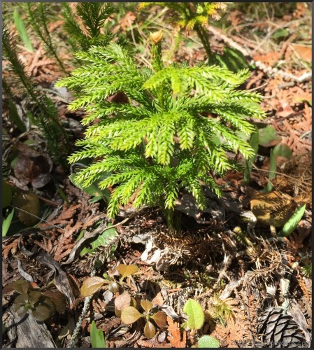 Dendrolycopodium obscurum (Tree Club-Moss)