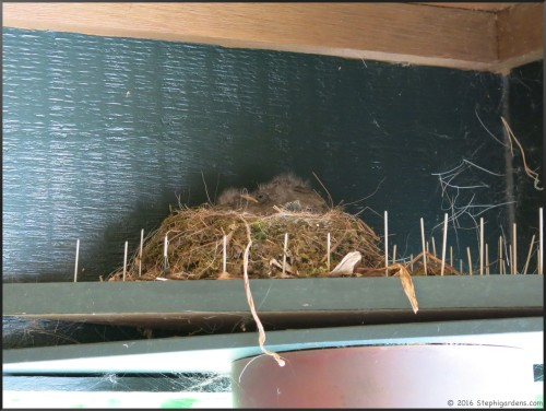 Eastern Phoebe nest