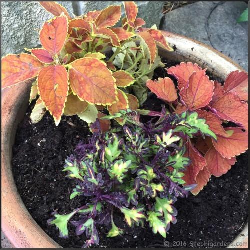coleus planter