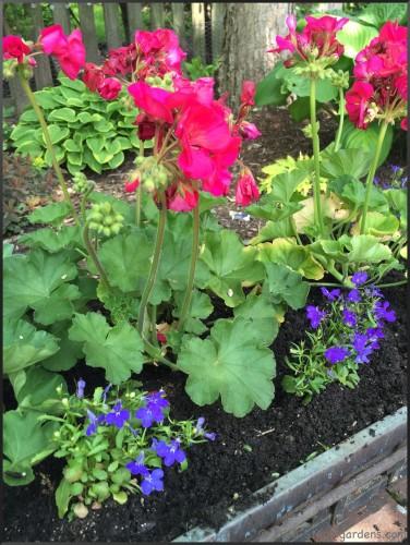 geranium and lobelia planter