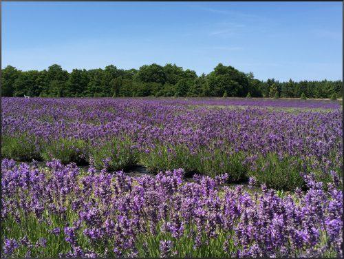 Washington Island Lavender