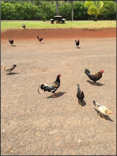 Kauai chickens