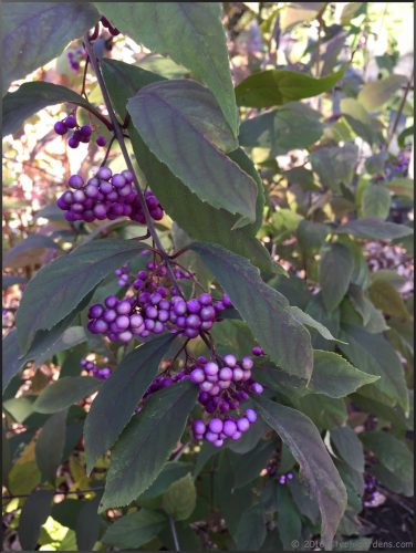 purple beautyberry bush