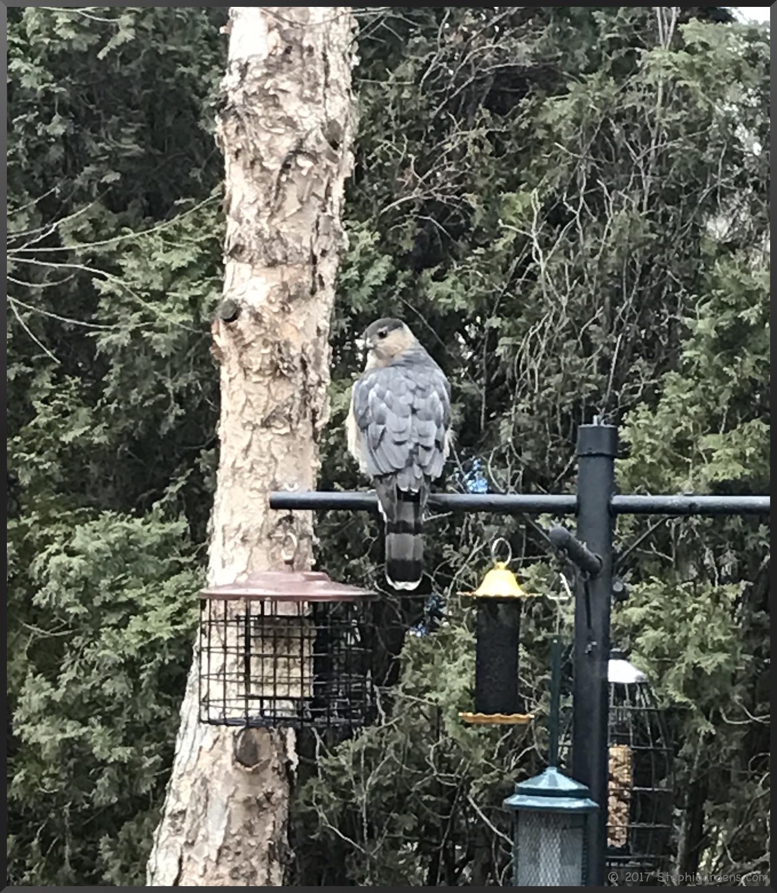 great backyard bird count stephi gardens