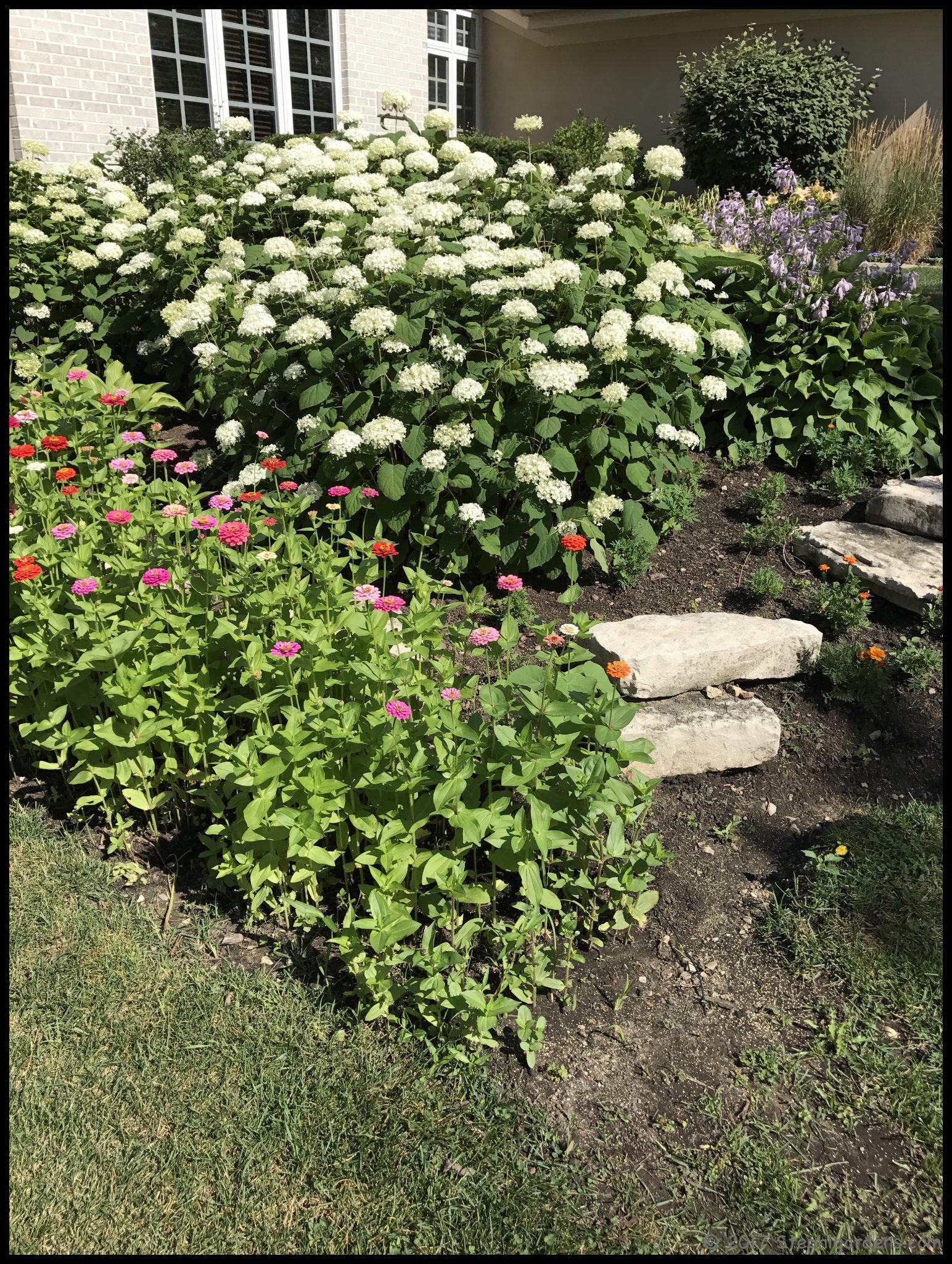 Fantastic annabelle hydrangea – Stephi Gardens WU79